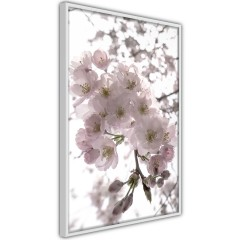 Poster - Cherry Blossoms [Poster]